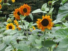 August gardens 2014 038
