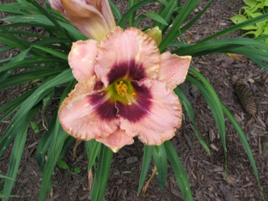 Lilies, July 17, 2015 014