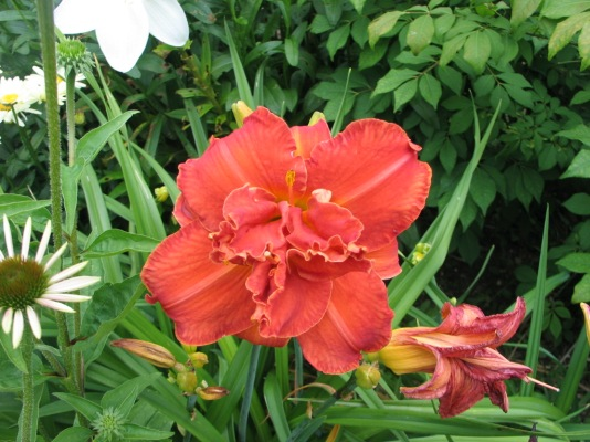 Lilies, July 17, 2015 016