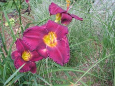 Lilies, July 17, 2015 018