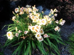 Big Perennial 2